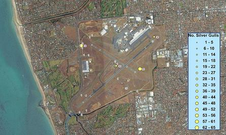 An aerial GIS map of Adelaide Airport showing the number of silver gulls in the area.